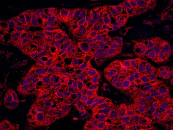 Immunohistochemistry (Formalin/PFA-fixed paraffin-embedded sections) - Anti-MSF antibody (ab114099)