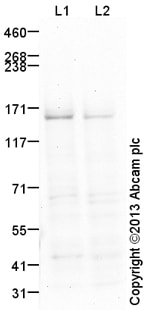 Western blot - Anti-Collagen IV antibody (ab115261)