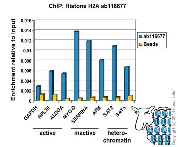 ChIP - Anti-Histone H2A antibody (ab116677)