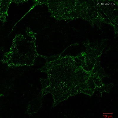 Immunocytochemistry/ Immunofluorescence - Anti-Hemagglutinin antibody [16B12] (DyLight® 488) (ab117488)