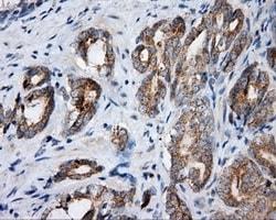 Immunohistochemistry (Formalin/PFA-fixed paraffin-embedded sections) - Anti-SIL1 antibody [OTI1C4] (ab118155)