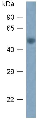 Western blot - Anti-Arg 3.1 antibody (ab118929)