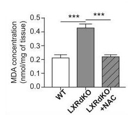 Lipid Peroxidation Assay performed on mouse sciatic nerve samples