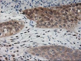 Immunohistochemistry (Formalin/PFA-fixed paraffin-embedded sections) - Anti-PDXK.1 antibody [5H5] (ab119051)