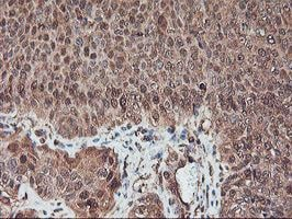 Immunohistochemistry (Formalin/PFA-fixed paraffin-embedded sections) - Anti-SerpinB6 antibody [OTI2F8] (ab119393)