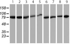 Western blot - Anti-Hsp75 antibody [OTI1A1] (ab119398)