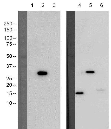 Western blot - Anti-Caspase-3 [M377] antibody (ab119794)