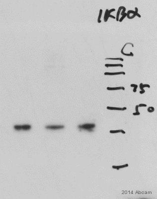 Western blot - Anti-IKB alpha antibody [6A920] (ab12134)