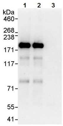Immunoprecipitation - Anti-JLP antibody (ab12331)