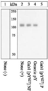 Western blot - Anti-GAB1 (phospho Y627) antibody (ab12863)