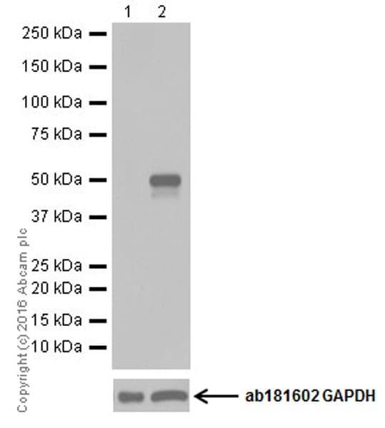 Western blot - Tunicamycin, Protein glycosylation inhibitor. (ab120296)