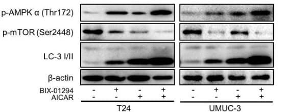 Western blot - AICAR (Acadesine/AICA riboside), AMPK activator (ab120358)