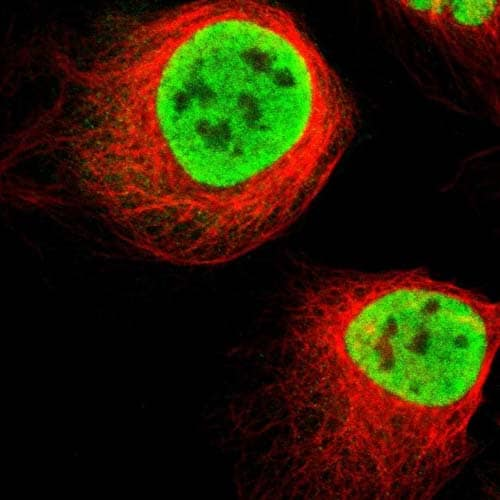 Immunocytochemistry/ Immunofluorescence - Anti-KIAA0513 antibody (ab121382)