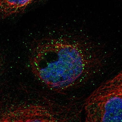 Immunocytochemistry/ Immunofluorescence - Anti-TMEM14E antibody (ab121437)
