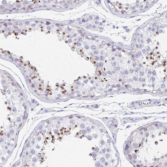 Immunohistochemistry (Formalin/PFA-fixed paraffin-embedded sections) - Anti-AFAF antibody (ab121470)