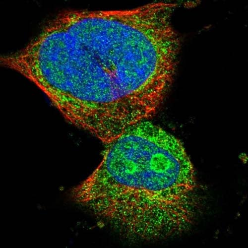 Immunocytochemistry/ Immunofluorescence - Anti-C4orf52 antibody (ab121500)