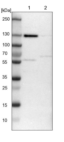 Western blot - Anti-C10orf118 antibody (ab121550)