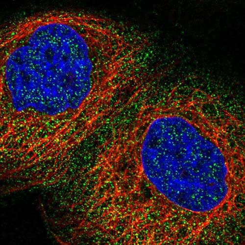 Immunocytochemistry/ Immunofluorescence - Anti-RWDD2B antibody (ab121567)