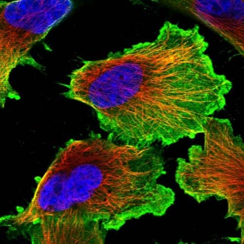 Immunocytochemistry/ Immunofluorescence - Anti-SRRM3 antibody (ab121599)