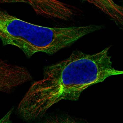 Immunocytochemistry/ Immunofluorescence - Anti-C8orf37 antibody (ab121796)