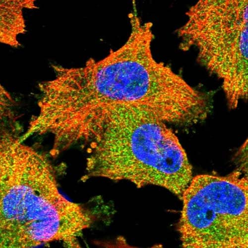 Immunocytochemistry/ Immunofluorescence - Anti-LRRC67 antibody (ab121808)