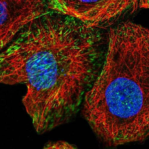 Immunocytochemistry/ Immunofluorescence - Anti-XKR6 antibody (ab121845)