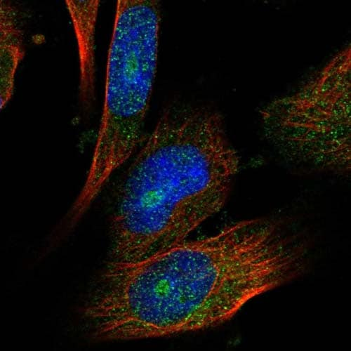 Immunocytochemistry/ Immunofluorescence - Anti-C6orf130 antibody (ab122032)