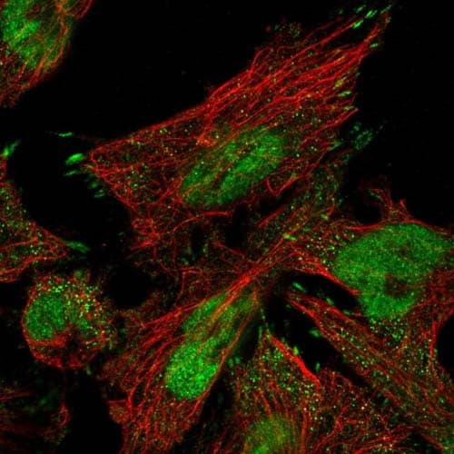 Immunocytochemistry/ Immunofluorescence - Anti-C9orf66 antibody (ab122288)