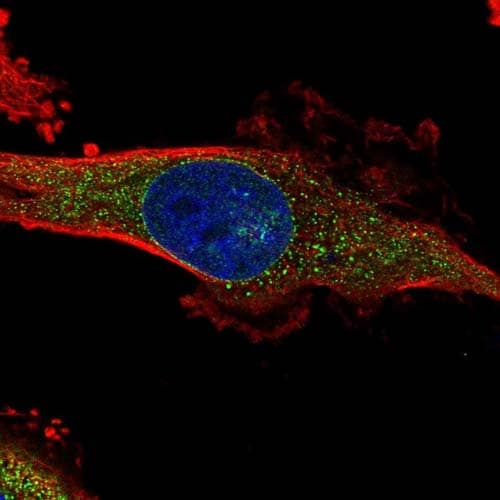 Immunocytochemistry/ Immunofluorescence - Anti-DNAH1 antibody (ab122367)