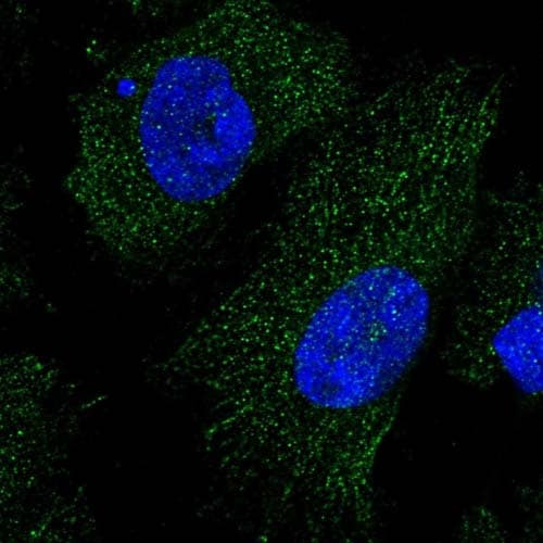 Immunocytochemistry/ Immunofluorescence - Anti-FAM149B1 antibody (ab122541)