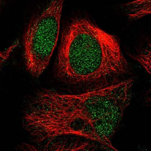 Immunocytochemistry/ Immunofluorescence - Anti-SEL1L3 antibody (ab122614)