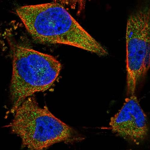 Immunocytochemistry/ Immunofluorescence - Anti-CCDC15 antibody (ab122651)