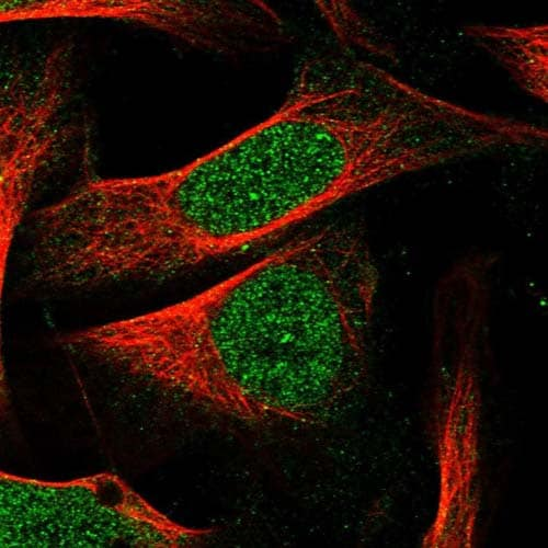 Immunocytochemistry/ Immunofluorescence - Anti-XKR7 antibody (ab122674)