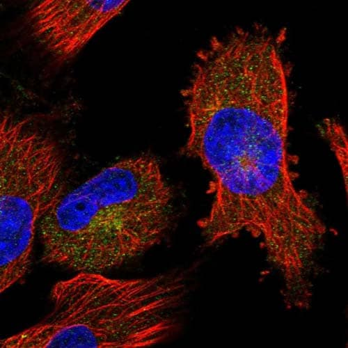 Immunocytochemistry/ Immunofluorescence - Anti-MEG2 antibody (ab122756)