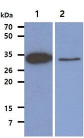 Western blot - Anti-TPMT antibody [AT2E7] (ab122984)