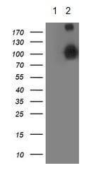 Western blot - Anti-Apc2 antibody [OTI1A6] (ab123855)