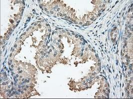 Immunohistochemistry (Formalin/PFA-fixed paraffin-embedded sections) - Anti-PKA R2 antibody [OTI5F1] (ab124400)