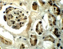 Immunohistochemistry (Formalin/PFA-fixed paraffin-embedded sections) - Anti-DPF2 antibody (ab124514)