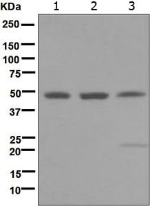 Western blot - Anti-MEIS1 antibody [EPR5781] (ab124686)