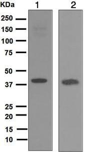 Western blot - Anti-REM antibody [EP4482] (ab124703)