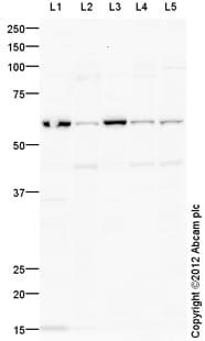 Western blot - Anti-ICAM1 antibody (ab124760)