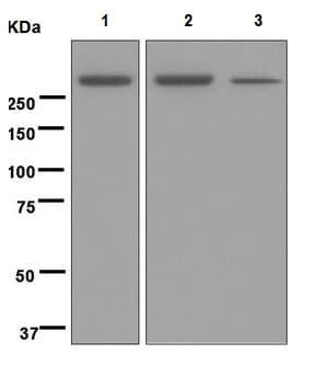 Western blot - Anti-M6PR (cation independent) antibody [EPR6599] (ab124767)