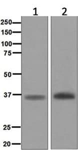 Western blot - Anti-Myogenin antibody [EPR4789] (ab124800)