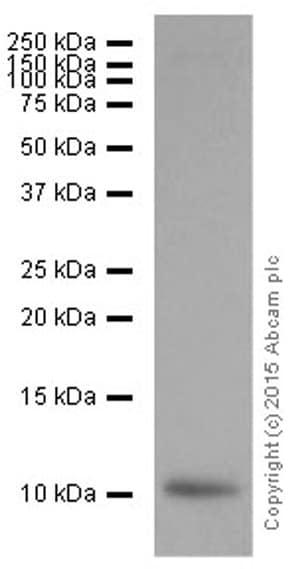 Western blot - Anti-S100A4 antibody [EPR2761(2)] (ab124805)