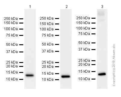 Western blot - Anti-Profilin 1 antibody [EPR6304] (ab124904)