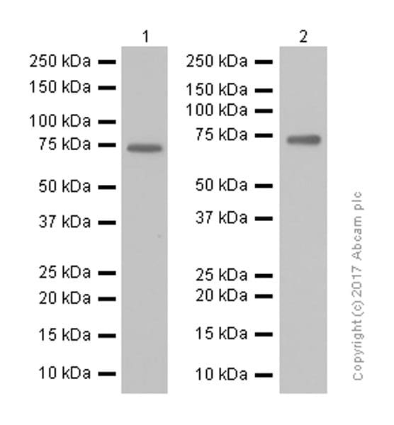 Western blot - Anti-RYK antibody [EPR5169(2)] (ab124961)