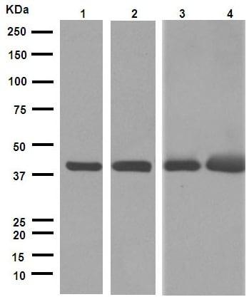 Western印迹-抗α平滑肌肌动蛋白抗体[EPR5368](AB12464)