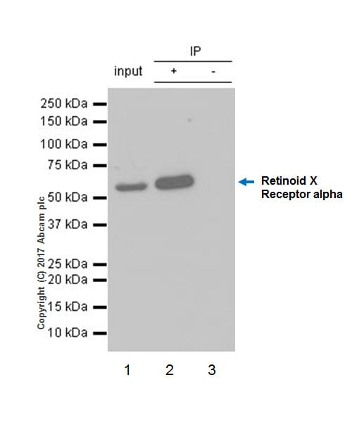 Immunoprecipitation - Anti-Retinoid X Receptor alpha/RXRA antibody [EPR7106] (ab125001)