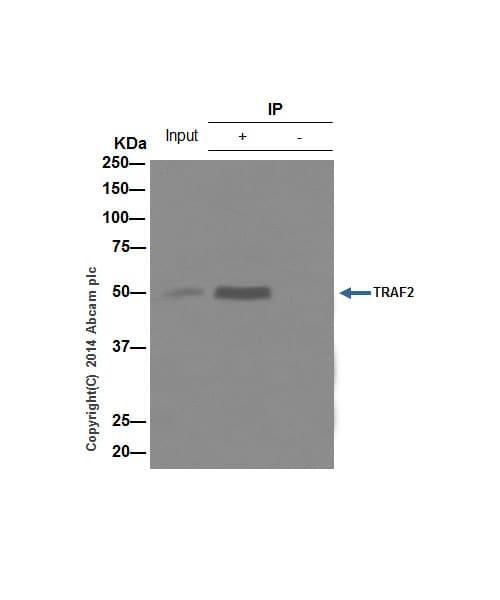 Immunoprecipitation - Anti-TRAF2 antibody [EPR6048] (ab126758)