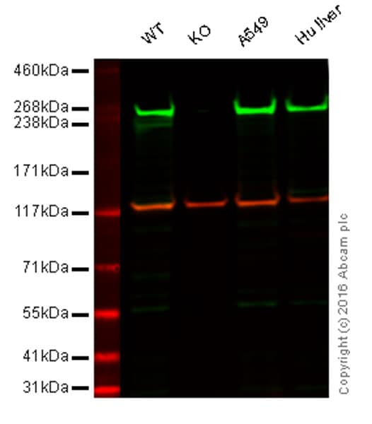 Western blot - Anti-Fatty Acid Synthase antibody [EPR7465] (ab128856)